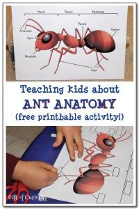 Teaching-kids-about-ant-anatomy-with-a-free-printable-activity