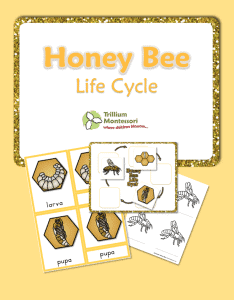 Life-Cycle-of-a-Honeybee-234x300