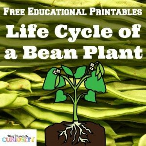 Life-Cycle-of-a-Bean-Plant-500x500