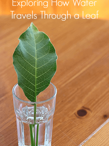 FREE Leaf Experiment www.homeschoolgiveaways.com Conduct this fun science experiment to learn how water travels through a leaf!