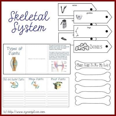 anatomy lapbook the skeletal system. Black Bedroom Furniture Sets. Home Design Ideas