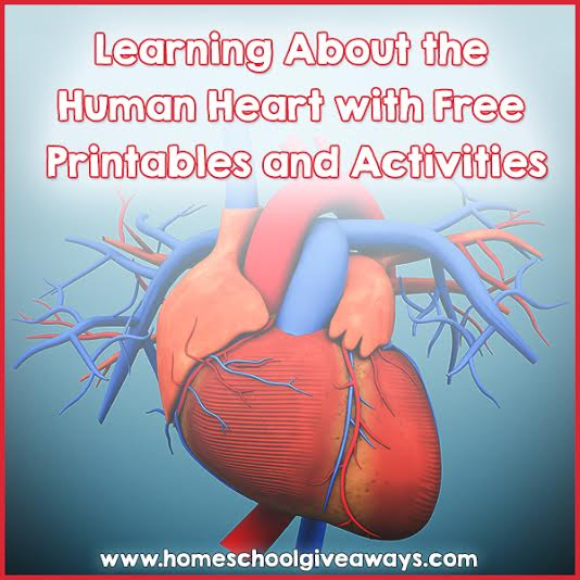 Learning About the Human Heart with FREE Printables and Activities – Parts of the Heart Worksheet