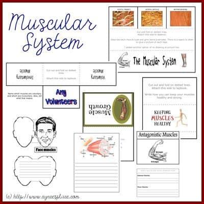CA_MuscleLB