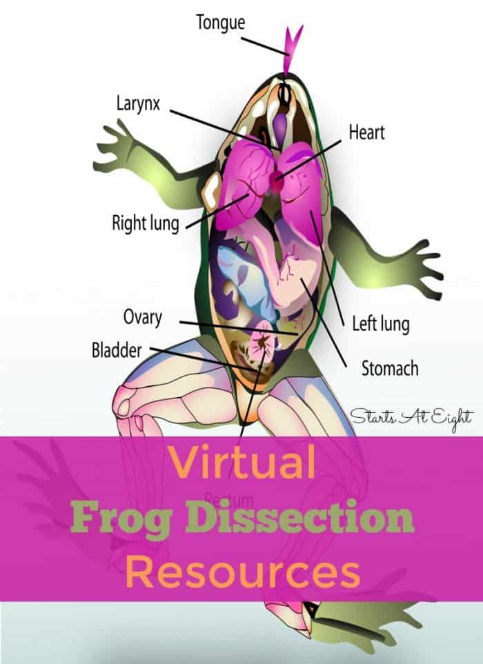Vector illustration of a dissected frog model