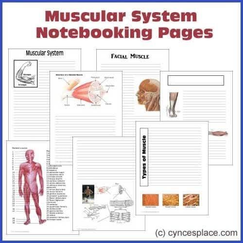 skeletal and muscular system relationship The skeletal and muscular systems a general overview of the skeletal  system is required, but will not be directly examined, so we include a general.