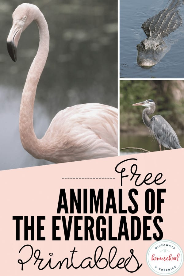 free animals of the everglads printables with photos of flamingo, alligator and blue heron.
